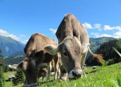 明年养牛最好坚持自繁自育