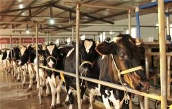 巧用秸秆养牛经济又环保 节约成本近一倍